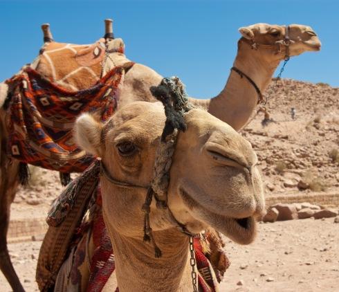 Camel_in_Petra3