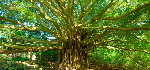 C/O http://www.churchplants.com/daily-devotions/3505-banyan-trees-church-planting-devotional-r-jayakumar.html